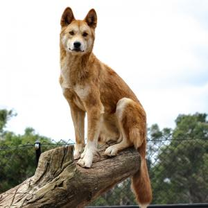 dingo - mot du glossaire Tête à modeler. Définition et activités associées au mot dingo.