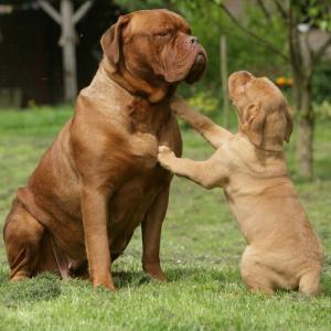 dogue - mot du glossaire Tête à modeler. Définition et activités associées au mot dogue.