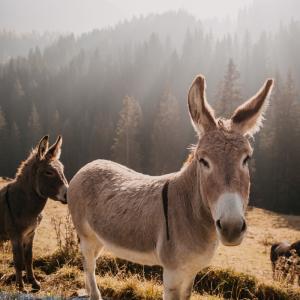 Âne: Mot du glossaire Tête à modeler. Un âne est un mammifère quadrupède domestique à longues oreilles à la robe grise et au ventre blanc. Activités