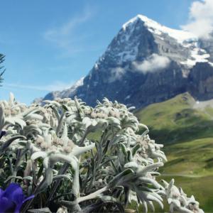 edelweiss - mot du glossaire Tête à modeler. L'edelweiss est une fleur  ...  Définition et activités associées au mot edelweiss.