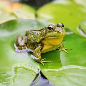grenouille - mot du glossaire Tête à modeler. Définition et activités associées au mot grenouille.