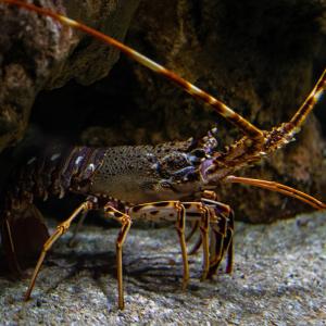 homard - mot du glossaire Tête à modeler. Définition et activités associées au mot homard.