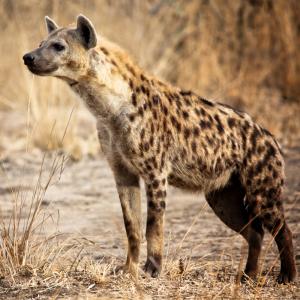 hyene - mot du glossaire Tête à modeler. Définition et activités associées au mot hyene.