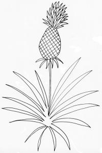 coloriage d'un ananas sur son plant