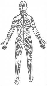 Coloriage des muscles du corps