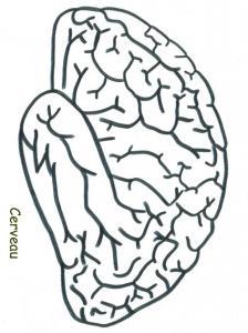 Coloriage du cerveau