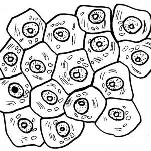 Coloriage des cellules
