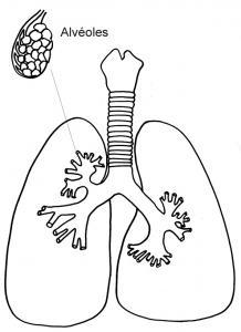 Coloriage des poumons et alvéoles