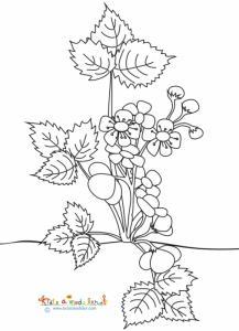 Coloriage d'un fraisier en fleurs