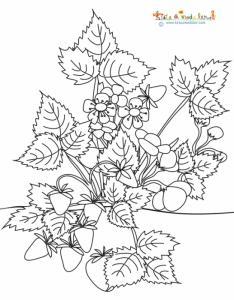 Coloriage fraisier : naissance des fraises