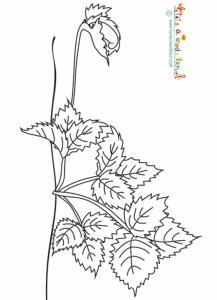 Coloriage de la naissance du stolon du fraisier