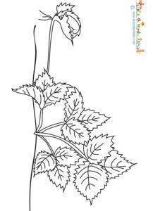 Le stolon fait des racines - coloriage fraisier
