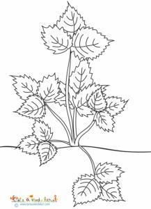 Coloriage d'un fraisier en feuilles en pleine terre
