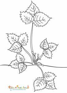 Le fraisier naissance des tiges à fleurs - coloriage