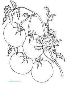 Coloriage d'une branche de tomates