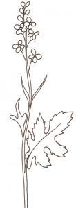 coloriage d'une fleur de colza