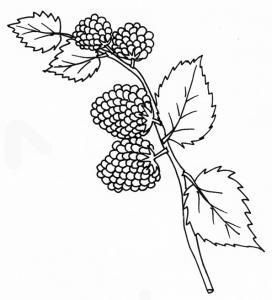 coloriage de framboises sur la branche