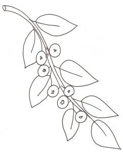 coloriage d'une branche de myrthilles