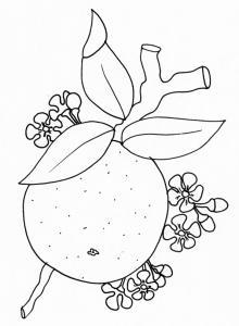 coloriage d'une orange et fleurs d'oranger