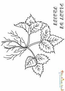 Plant de fraises 3 feuilles à colorier