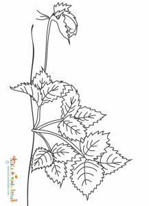 Coloriage reproduction des fraises - le stolon