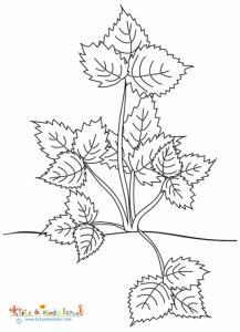 Plant de fraises tout en feuilles à colorier
