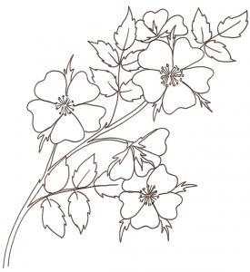 coloriage d'une rose églantine, rose sauvage