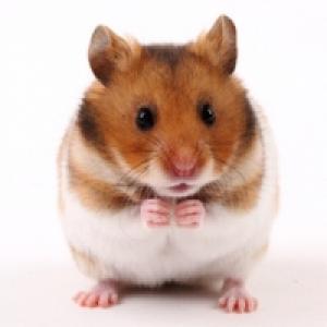 L'alimentation du hamster