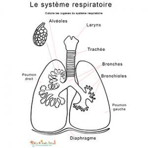 Planche anatomique système respiratoire : les poumons