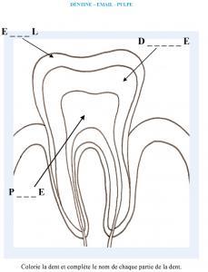 Activité sur la structure de la dent : dentine, pulpe email