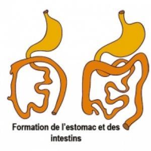 La formation du meconium et du système digestif pendant le 8 ème mois de grossesse. Le système digestif de votre bébé se prépare à fonctionner seul. Votre béb&eacu