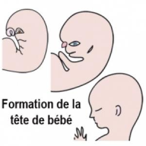 Formation de la tête de bébé à 3 mois de grossesse
