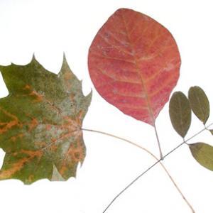 Explications pour préparer des feuilles d'automne séchées