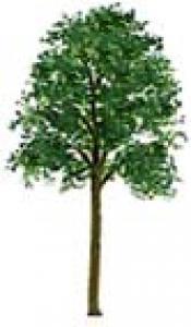 Le frêne