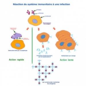 systeme immunitaire reaction en 2 temps