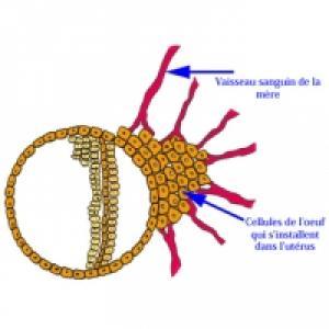 La nidation de l'oeuf dans l'utérus