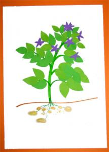 Réaliser le collage d'un plant de pomme de terre