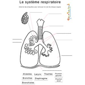 Le système respiratoire : noms des organes