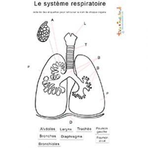 Activité sur le système respiratoire et les poumons