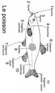 Découvrir le le corps du poisson