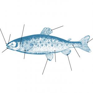 Imprimer la planche à remplir sur le poisson afin d'apprendre les différentes parties du poisson
