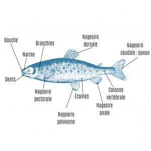 Imprimer la planche d'anatomie du poisson afin d'apprendre les différentes parties du poisson