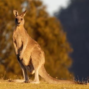 kangourou - mot du glossaire Tête à modeler. Définition et activités associées au mot kangourou.