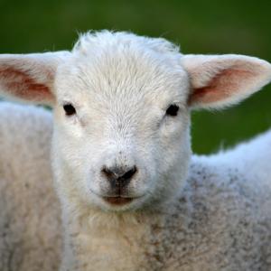 L'agneau Pascal est un symbole de Pâques et une viande très consommée pendant le repas de Pâques. Si vous avez-vous aussi décidé de mettre l'agneau à votre menu de Pâques, découvrez nos idées de recettes et des infos sur cette célèbre tradition française.