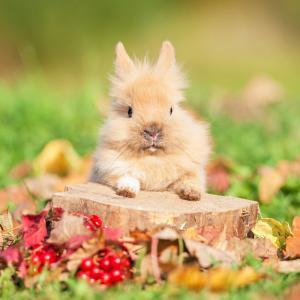 Il existe 4 races de lapins nains pouvant être croisées entre elles. Quelque soit la race, ce qui compte le plus c'est de trouver le lapin qui plait à toute la famille ! Les principales races de lapin nain sont : les lapins polonais, les lapins nains d