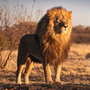 lion - mot du glossaire Tête à modeler. Définition et activités associées au mot lion.