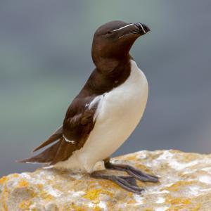 pingouin - mot du glossaire Tête à modeler. Définition et activités associées au mot pingouin.