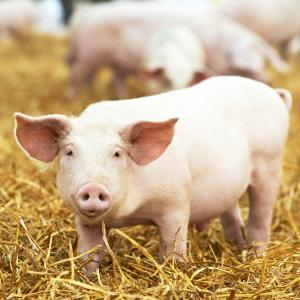 porc - mot du glossaire Tête à modeler. Définition et activités associées au mot porc.