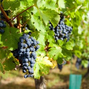 raisin- mot du glossaire Tête à modeler. Définition et activités associées au mot raisin.