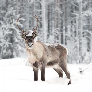 renne - mot du glossaire Tête à modeler. Définition et activités associées au mot renne.